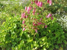"""Campanula """"cherry bells"""". Mine are in massive bloom right now!!!"""