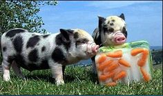 Miniature Pet Pigs – Why Are They Such Popular Pets? – Pets and Animals Zoo Animals, Animals And Pets, Cute Animals, Raising Farm Animals, This Little Piggy, Little Pigs, Petunias, Kune Kune Pigs, Pot Belly Pigs