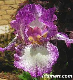 Mariposa Autumn Tall Bearded Iris, Rebloomer