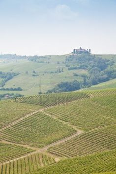 Tuscany. Vineyard In The Middle Of The Most Famous Wine Region