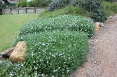 MundiTM Westringia can be pruned into any low growing architectural shape