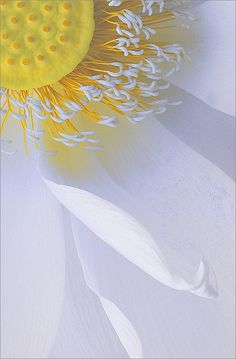 Lotus Flower - IMG_3802 by Bahman Farzad, via Flickr