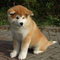 Akita puppy, too cute