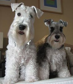 I love schnauzers so much! They are cute and smart! from http://dailypuppy.com