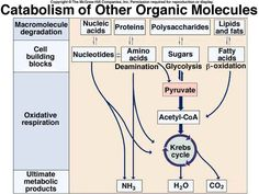 Cellular Respiration Cell Respiration, Organic Molecules, Biochemistry, Botany, Biography, Biology, School Stuff, Engineering, Plant