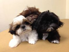 Shih Tzu puppies!  Aww, I want another puppy!  Two shih tzu is just not enough!  :)