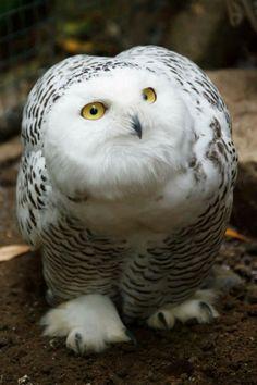 Hoo Hoo (how gorgeous! I just love owls!!!)