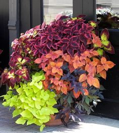 Bright chartreuse and purple/black trailing sweet potatoes vines paired with several varieties of coleus.