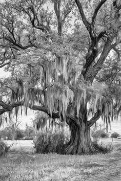 Live Oak And Spanish Moss - Paint Bw.  This Louisiana live oak sits beside the Mississippi River on the River Road near Evergreen Plantation. Its draping Spanish moss makes it a classic symbol of The South. B&W paint version.