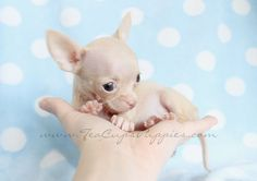 Haha! This teenie Teacup Chihuahua puppy looks like Mr. Burns from The Simpsons!  #teacup #chihuahua #simpsons