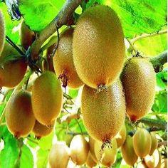 50+ Kiwi Fruit Vine Seeds ,Under The Sun Seeds