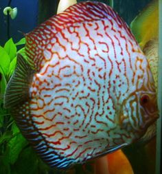 Dragon discus