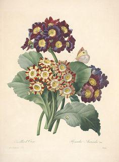 https://flic.kr/p/cXP6jN | n162_w1150 | Choix des plus belles fleurs :. Paris :Ernest Panckoucke,[1833?].. biodiversitylibrary.org/page/12695563