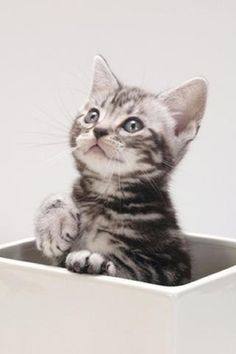 Litter Size of American Shorthair Cats.click the picture to read