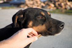 Labrador Retriever, Wordpress, Dogs, Animals, Cats, Pet Dogs, Animales, Labrador Retrievers, Animaux