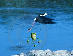 Flying frog - ©www.marielasource.fr
