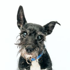 Snoopy is an adoptable schnauzer searching for a forever family near New York, NY. Use Petfinder to find adoptable pets in your area.