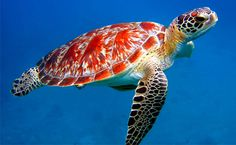 sea turtle head top view - Google Search