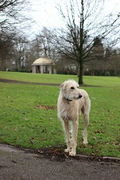 Blonde haired Lurcher in the park Bedlington Whippet, Lurcher, Whippets, Hound Breeds, Hound Dog, Hounds Of Love, Irish Wolfhounds, The Perfect Dog, Crazy Dog