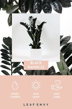 BLACK RAVEN ZZ This rare and wonderful plant is a Leaf Envy favourite because of her distinctive Tig Fall Planters, White Planters, House Plants Decor, Plant Decor, Indoor Garden, Indoor Plants, Red Violet Hair, Burgundy Hair, Red Hair