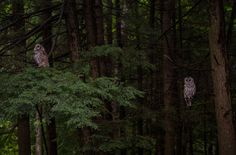 https://flic.kr/p/Awtf8R | Sibling Retreat | Barred Owlets in the thicket.