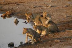 Wildlife Photography, Big Cats, Lions, Safari, National Parks, Uk Trip, September, Animals, Dinner