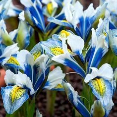 Iris reticulata 'Sea Breeze' - Reticulated Iris - Iris reticulata 'Sea Breeze' is a striking, hardy dwarf cultivar with royal blue, white and yellow flowers. Cottage Garden Plants, Garden Bulbs, Brown Flowers, Yellow Flowers, Ornamental Horticulture, Iris Reticulata, Dwarf Iris, Shades Of White, Summer Flowers