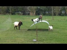 ▶ Chèvres en équilibre - goats balancing on a flexible steel ribbon - YouTube