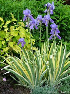 Iris pallida 'Aureo-marginata'/ Variegated Sweet Iris- Love love love this iris! If offers year round color with its intense yellow golden variegated foliage!  (photo by Nancy J. Ondra)