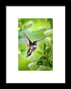 Peaceful Love Hummingbird Framed Print by Christina Rollo.  All framed prints…