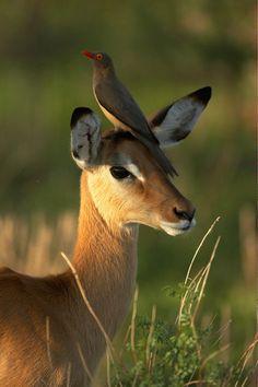 Impala -  Joe McDonald - Professional Wildlife Photographer