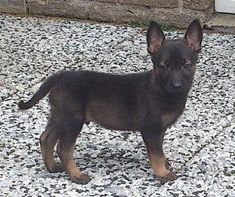 Let me introduce myself to you. My name is (X) Malinois. Don't I look cute? This is what I look like now. Cute, cuddly, bouncy and energetic. I am 6 weeks old and ready to throw your life into a ma…