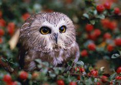 Baby Saw-Whet Owl Home Decor Canvas Print A4 Size (210 x 297mm) | eBay