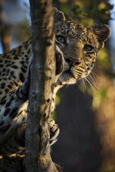 Leopard in Tree by Chris Fischer on 500px #wildlife #animal