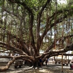 We visited the Banyon Tree planted in April, 1873 by Christian missionaries in Lahaina - this is all one tree that covers a city block in the center of town Lahaina Maui, Maui Hawaii, Oahu, Banyon Tree, Earth Air Fire Water, Christian Missionary, City Block, Tree Trunks, One Tree
