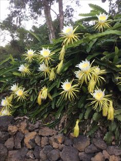 Night blooming cereus flowers.