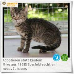 Miko ist ein Fundtier und noch sehr scheu und ängstlich. Sie wartet im Tierschutzverein Coesfeld.  http://www.tierheimhelden.de/katze/tierheim-coesfeld/hauskatze/miko/8214-1/  Für Miko wird eine geduldige Familie gesucht, die dem Katzenmädchen zeigt, dass Menschen toll sind. Miko wird nur mit einem Katzenfreund oder zu einer bereits im Haushalt lebenden Haushalt vermittelt.