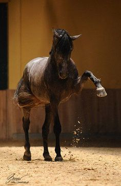 Stallions display many dominating actions - it is important to discourage these and remain the alpha. However, if the stallion is used for breeding, over correction can decrease or extinguish their desire to breed so knowing the correct way to handle stallion behavior is extremely important -JDK