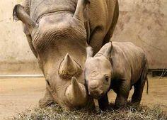 I've never seen a baby rhino! How cute!
