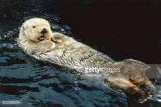 sea-otter-swimming-on-its-back-picture-id603588254 (507×339)