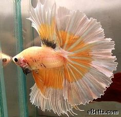 Here is a yellow pearl butterfly over half moon male betta.
