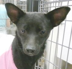 Anne is an adoptable Chihuahua Dog in Orlando, FL.  Anne is a female chihuahua. She is about 9 pounds. She's around 3 years old, spayed, current on shots and microchipped. She was heartworm positive w...