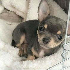 So adorable! Chihuahua