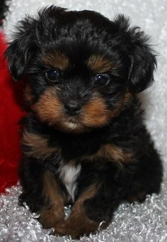 25 Shih Tzus Mixed With Poodle Shih Tzu Poodle Mix, Yorkie Poo Puppies, Poodle Mix Breeds, Poodle Mix Puppies, Teddy Bear Puppies, Toy Dog Breeds, Shih Poo, Yorkies, Cavapoo Puppies