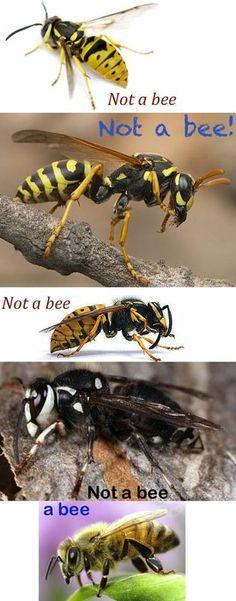 Bees don't bother humans.  Yellow jacket wasps are the pests that dive into your drinks, your food, check your hairspray or anything else that smells good to them.  Some people are very allergic to the toxin in a wasp sting and calling for medical help quickly can save a life.  For the rest of us, the sting will be annoying for awhile.  Other wasps are not as annoying and will usually leave you alone as long as they are not threatened.