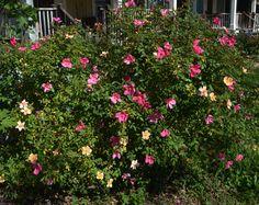 old rose mutabilis