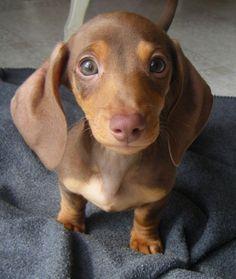Dachshund puppy.  I just died of cuteness overload.