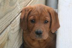 red lab puppy