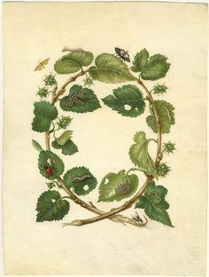 Watercolor white mulberry (Morys alba) silkworm (Bombyx mori), flies (Muscidae gen. Spec.), And indeterminate beetle ognevok (Pyraloidea gen. Spec.) Maria Sibylla Merian. Künstlerin und Naturforscherin. 1647-1717. Frankfurt am Main, 1998. S.53 Abb.20. Kat.38. S.104;