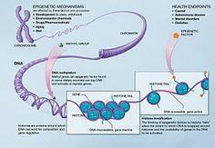Science de l'épigénétique (expression des gênes).